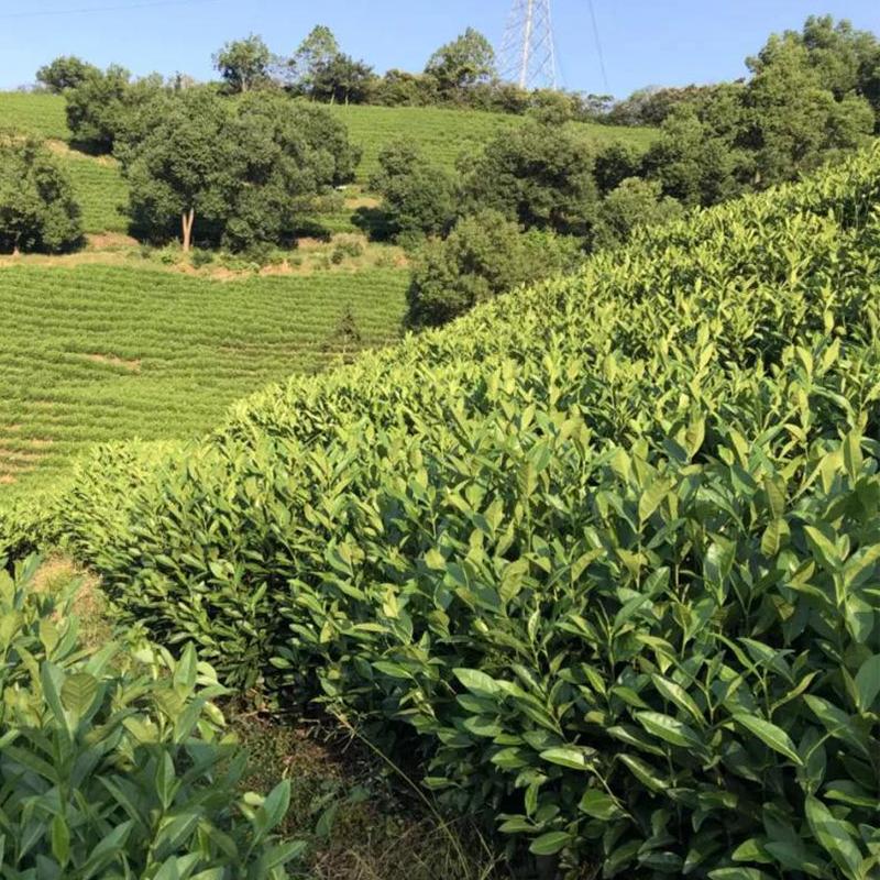 抗性茶小綠葉蟬解決方案